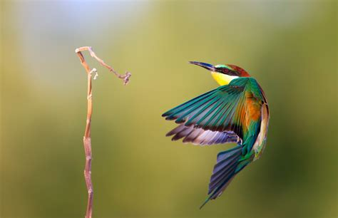 bee eater wallpapers first hd wallpapers bee eater birds wallpaper animals full hd all creatures