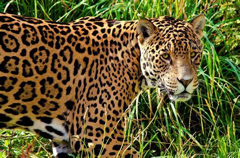 jaguar animal drawing wallpaper