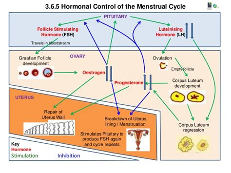 hormone cycle diagram 3 6 5 h hormonal of the menstrual cycle a1 poster