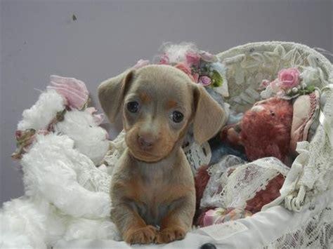 blue dachshund puppies for sale best 25 dachshund puppies for sale ideas on daschund puppies for sale
