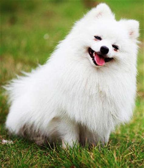 smallest pomeranian breed pomeranian small breeds dbcentral