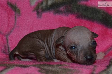american hairless terrier puppies for sale american hairless terrier puppy for sale near dallas fort worth 28c24e68 f171