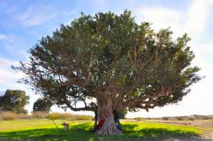 large trees trees on tu bishvat carob israel tour guide israel tours