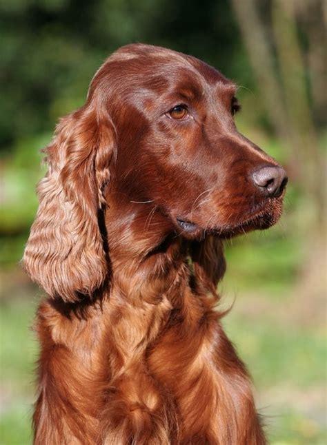 dog breeds similar to red setter irish setter irish and red on pinterest