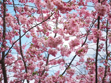 free photo flowers pink tree flower tree free image