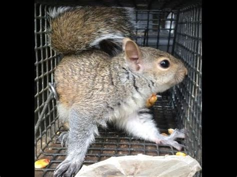 instant play gt squirrel in insulation middlesex