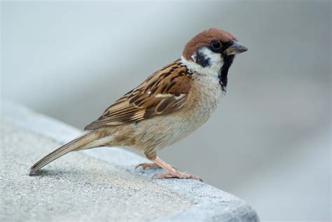 ज ज ञ स sparrows some interesting facts