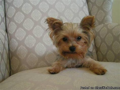 teacup yorkie prices tiny yorkie blessings images