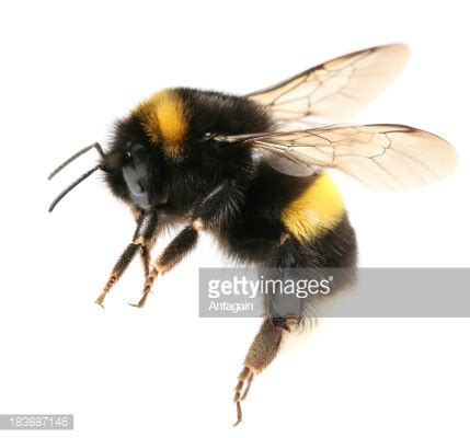 Original Reg A Free Used Bee bumblebee stock photo getty images