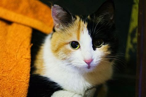 17 best images about calico cats on pinterest cats pictures of and kittens
