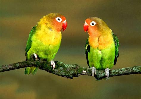 pappagalli inseparabili alimentazione agapornis fischeri inseparabile di fischer