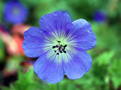 Blue Geranium Hd Wallpaper Flowers Wallpapers Blue Flower