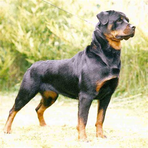 history of a rottweiler rottweiler history personality appearance health and pictures