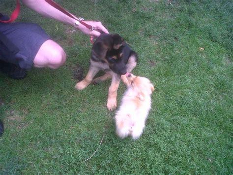 german shepherd x pomeranian pin by summer mclean on puppy