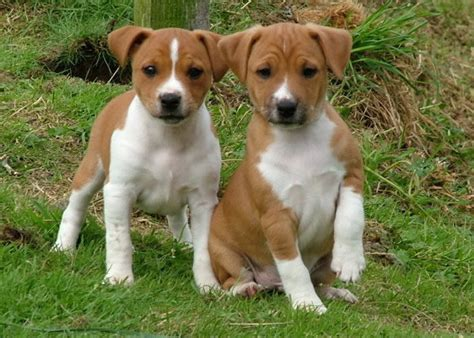 terrier puppies plummer terrier puppies rescue pictures information temperament characteristics