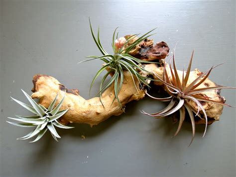 air plant display ideas  seamlessly blend