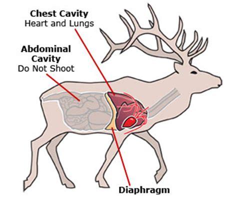 elk anatomy diagram abdominal cavity michigan bowhunting license study guide