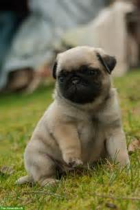 pug babies baby pug dogs facts and photos