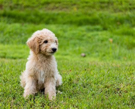 mini goldendoodle price goldendoodle hunde rassen die tier welt