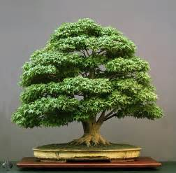 bonzi tree top 10 greatest bonsai trees bonsai empire