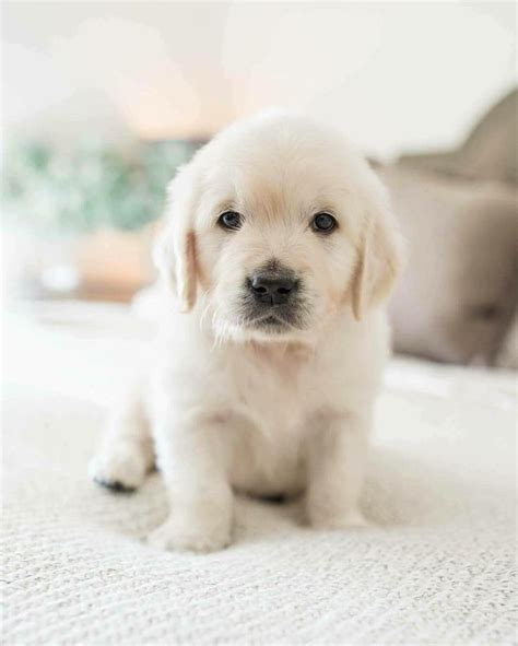fluffy golden retriever 17 best ideas about fluffy puppies on adorable puppies fluffy