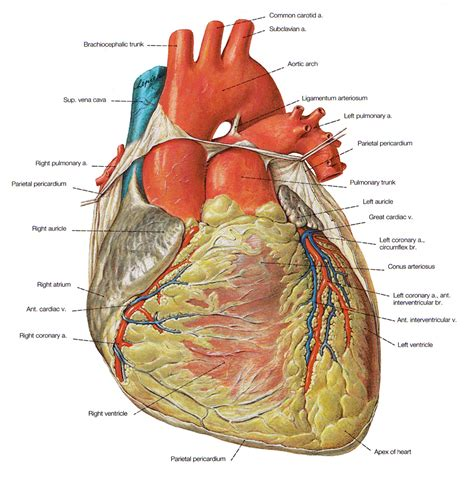 longitudinal section of the human heart longitudinal section of heart standard note structure and