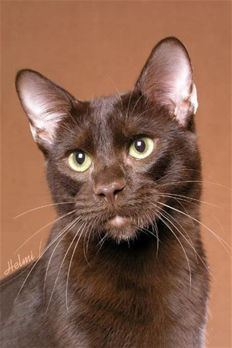 brown cat picture 2