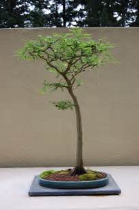 Rock Pedestal Best In The Northwest At The Pacific Rim Bonsai