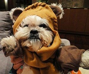shih tzu wars just in time for change your pooch into an ewok culture