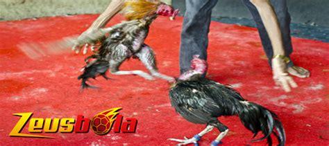 ketahui bagian tubuh sensitif ayam petarung zeusbola