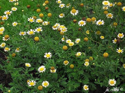 stauden die den ganzen sommer blühen f 228 rberkamille langbl 252 hende stauden