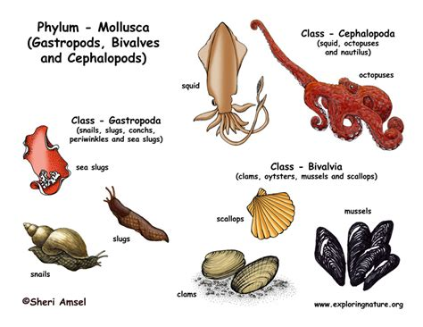 mollusk diagram phylum mollusca gastropods bivalves cephalopods