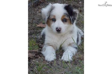 australian shepherd puppies for sale florida australian shepherd puppy for sale near ocala florida 3a4116f5 34a1 graces board
