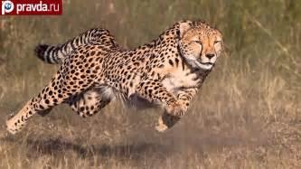 Is A Jaguar Faster Than A Cheetah Cheetah S Running Speed Wallpaper
