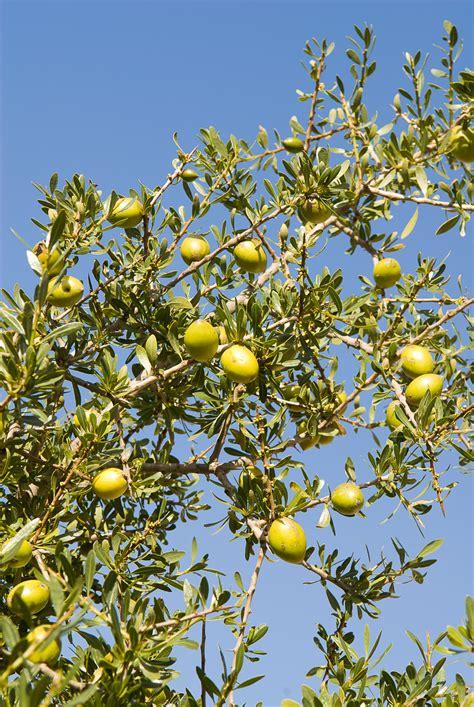 argan tree fruit culinary argan from morocco s feast