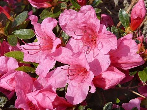 fiori azalee azalea piante da giardino arredare casa e giardino con