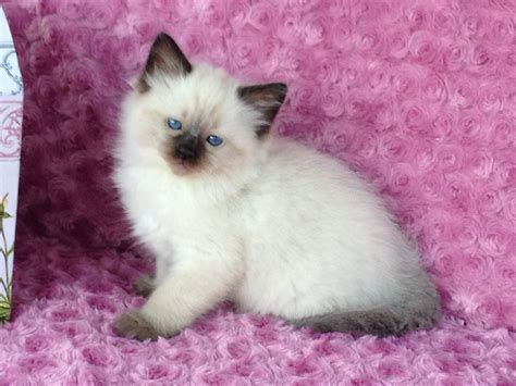 ragdoll cat colors ragdoll cat colors 28 images the 10 most important