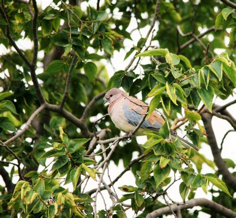 tree doves laughing dove in a tree free stock photo domain