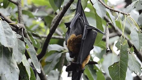 hanging flying fox hugging each other while deep sleeping