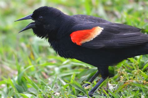 red winged black bird heatherandkyle