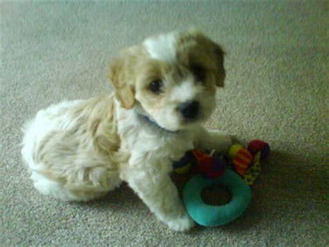 8 week puppy schedule radio 1 and dom bruce s 8 week puppy shares b day
