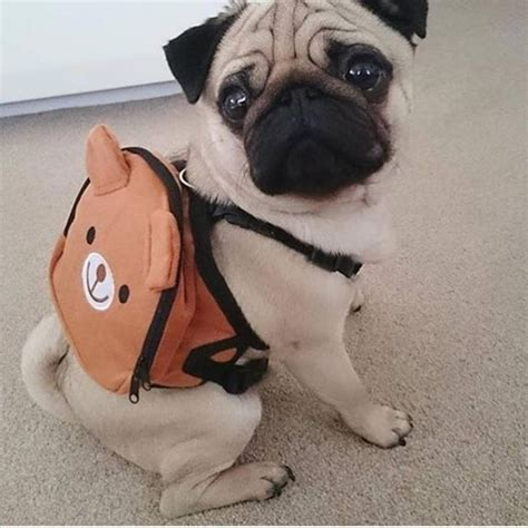 where can i buy a pug the 25 best ideas about pugs on pugs pug puppies and pug