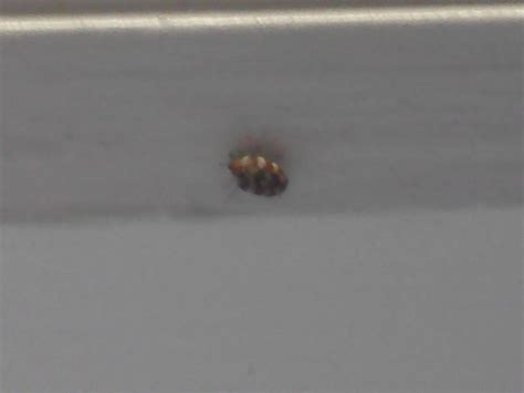 how to identify bed bugs identifying a bed bug bing images