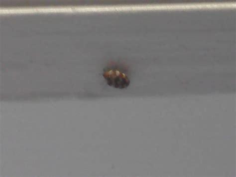 bed bug help possible bedbug need help identifying