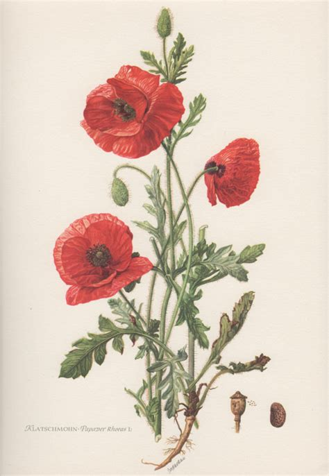 1954 red poppy vintage botanical print lithograph by