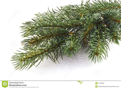 christmas tree branch royalty free stock photo image