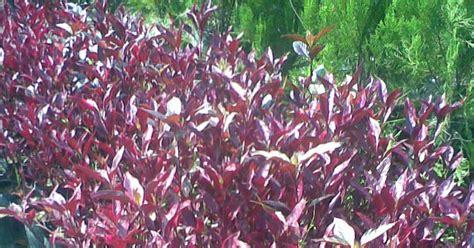Pupuk Bunga Raya stand bunga mekar sari garden surabaya bligo merah