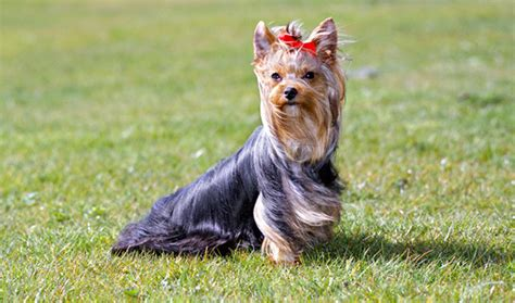 how to a yorkie puppy to potty best way to potty a terrier 1001doggy