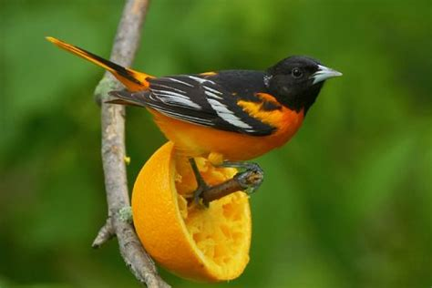 oriole bird facts anatomy diet habitat behavior