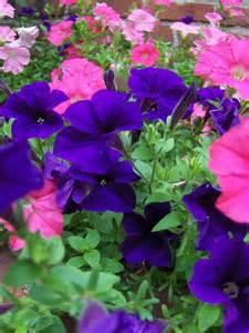 petunias flickr photo sharing